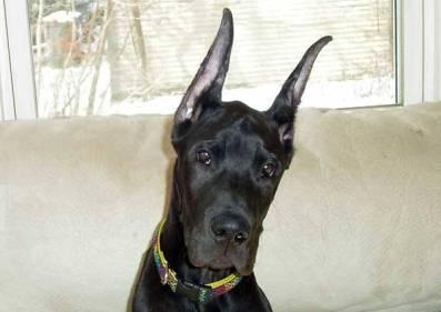 perro-negro-de-orejas-grandes