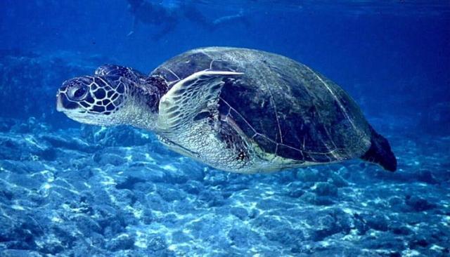 1883-turtle1_1